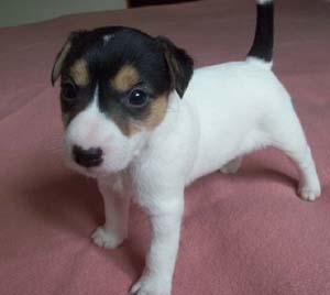Nowe zdjęcia naszych Parson Russell Terrierów