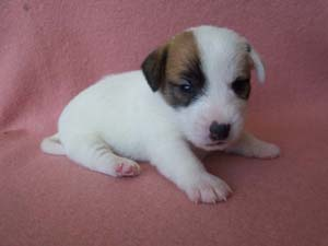 Nowy miot Jack Russell Terrierów